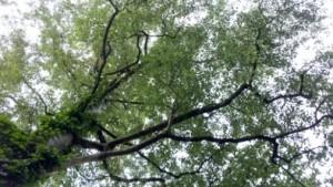 In die Birkenkrone schauen ist pure Meditation